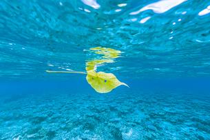 上野海岸の水面を美しく漂う落ち葉の写真素材 [FYI04676897]