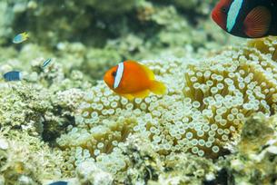 バラス島周囲に生息するカクレクマノミの写真素材 [FYI04676902]