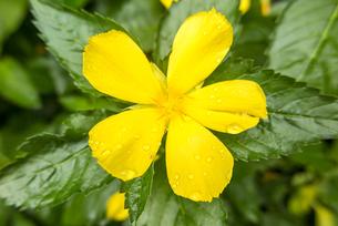 西表島に咲くカラフルな花たちの写真素材 [FYI04676919]