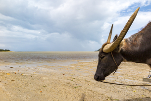 休憩中の由布島行きの水牛の写真素材 [FYI04676925]