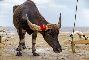 ハイビスカスを付けた由布島行きの水牛の写真素材 [FYI04676927]
