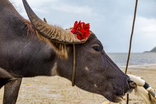 ハイビスカスを付けた由布島行きの水牛の写真素材 [FYI04676928]