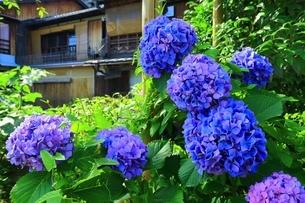 紫陽花咲く祇園の写真素材 [FYI04677229]