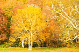 カヤの平牧場の紅葉した木の写真素材 [FYI04677275]