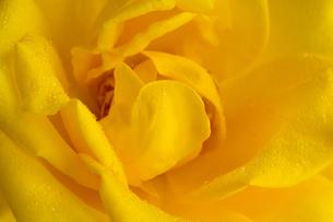 水滴が付いた黄色いバラのクローズアップの写真素材 [FYI04677503]