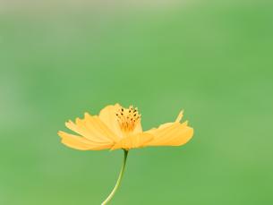 【秋】オレンジ色のコスモスの花が花畑で咲いている様子 背景素材の写真素材 [FYI04677518]