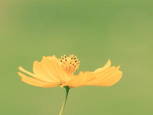 【秋】オレンジ色のコスモスの花が花畑で咲いている様子 自然風景の写真素材 [FYI04677520]