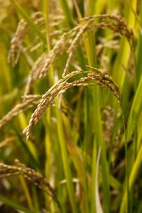 水田での稲作の写真素材 [FYI04678004]