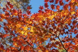 上高地の紅葉の写真素材 [FYI04678792]