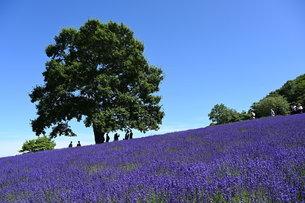 ラベンダー畑と一本の木の写真素材 [FYI04679068]