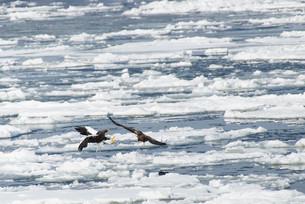 流氷に舞い降りるオオワシとオジロワシの写真素材 [FYI04679069]
