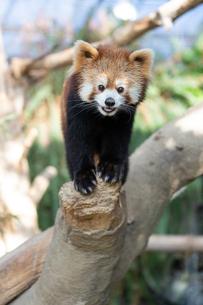 木の先に掴まるレッサーパンダの写真素材 [FYI04679352]