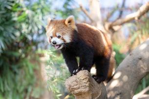 木登りをするレッサーパンダの写真素材 [FYI04679355]