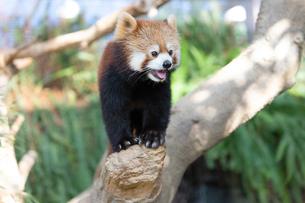 木の先端に座るレッサーパンダの写真素材 [FYI04679356]