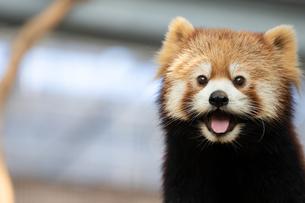 レッサーパンダの顔アップの写真素材 [FYI04679357]