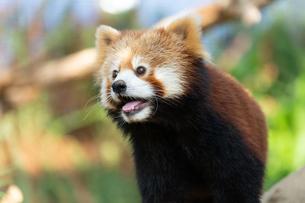 レッサーパンダの顔アップの写真素材 [FYI04679358]