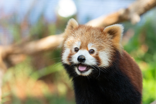 レッサーパンダの顔アップの写真素材 [FYI04679359]