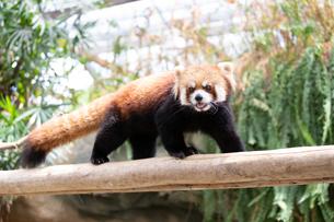 木の上を歩くレッサーパンダの写真素材 [FYI04679363]