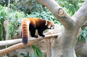 木の上を歩くレッサーパンダの写真素材 [FYI04679364]