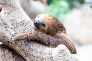 木によじ登るナマケモノの写真素材 [FYI04679367]