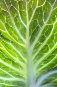 春キャベツの葉脈の写真素材 [FYI04679624]