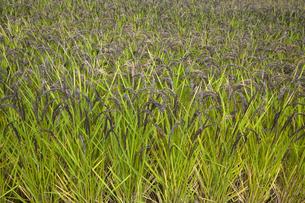 古代米 緑米の写真素材 [FYI04679764]