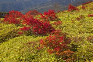 草津白根山 ナナカマドの紅葉の写真素材 [FYI04679770]