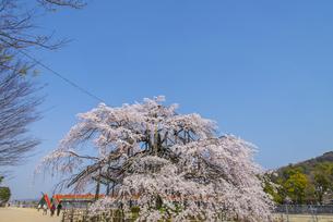 宇治川しだれ桜の写真素材 [FYI04679799]