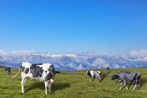 青空と雪山を背景にした高原の牧場で草を食む乳牛数頭の写真素材 [FYI04679868]