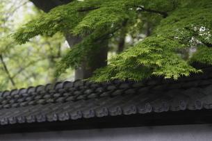 土塀の瓦と新緑の写真素材 [FYI04680032]