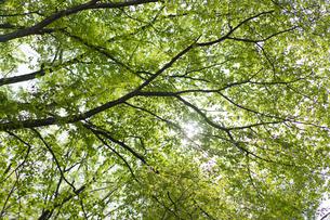 新緑の枝と木洩れ日の写真素材 [FYI04680128]