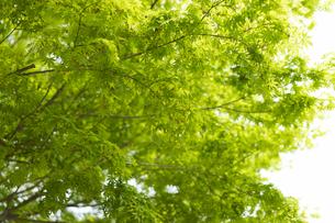 新緑の枝葉の写真素材 [FYI04680146]