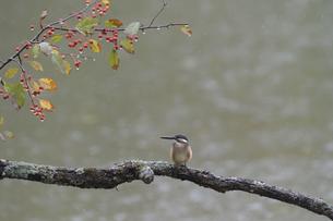 秋のカワセミの写真素材 [FYI04680164]