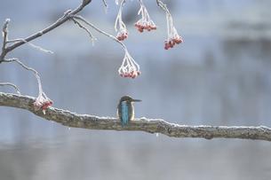 氷点下の朝のカワセミの写真素材 [FYI04680165]