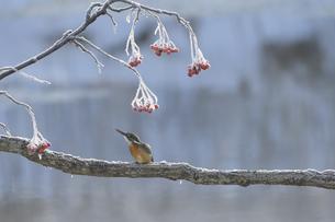 冬のカワセミの写真素材 [FYI04680183]