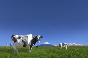 青空と富士山を背景にした高原の牧場で草を食む乳牛数頭の写真素材 [FYI04680467]
