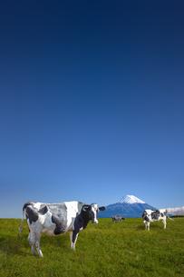青空と富士山を背景にした高原の牧場で草を食む乳牛数頭の写真素材 [FYI04680469]