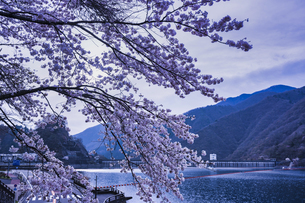 奥多摩湖の桜の写真素材 [FYI04680604]