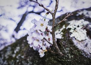 奥多摩湖の桜の写真素材 [FYI04680605]