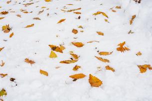 雪の上の黄色い落ち葉の写真素材 [FYI04680763]
