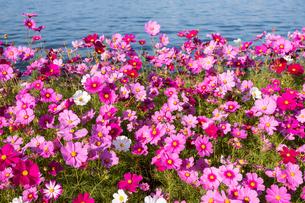 コスモスの花畑の写真素材 [FYI04680827]