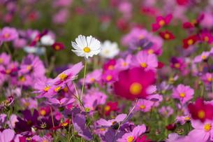 コスモスの花畑の写真素材 [FYI04680828]