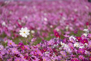 コスモスの花畑の写真素材 [FYI04680830]