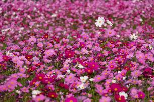 コスモスの花畑の写真素材 [FYI04680833]