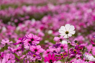 コスモスの花畑の写真素材 [FYI04680835]