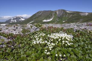 エゾタカネツメクサと白雲岳(北海道・大雪山)の写真素材 [FYI04680854]