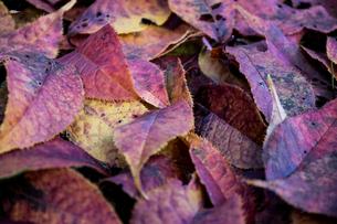 落葉のクローズアップ画像の写真素材 [FYI04681247]
