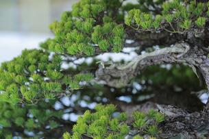 松の盆栽の写真素材 [FYI04681333]
