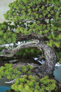 松の盆栽の写真素材 [FYI04681335]