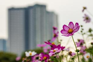 都会のコスモス畑の写真素材 [FYI04681778]